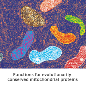 Functions for evolutionarily conserved mitochondrial proteins